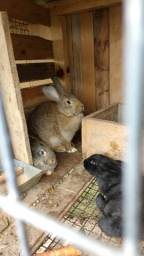 Vendo coelhos gigantes