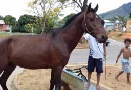 Urgente vendo cavalo marcha picado