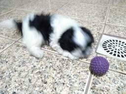 Shih Tzu filhote cachorro