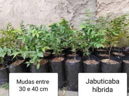 Muda de Jabuticabeira híbrida entre 30 e 40cm