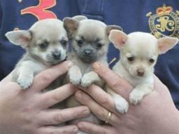 Chihuahua - macho pelo curto em uma super promoção , aproveite!