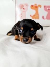 Pequeno Pinscher menino