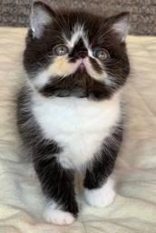 E Show Gato Persa de macho bicolor Exotico pelo curto extremado com 59 dias Super lindo