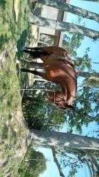 Vendo égua  boa e linda
