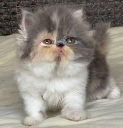 A Show Gata Persa filhote Feméa tricolor com 49 dias pelo longo extremada super linda