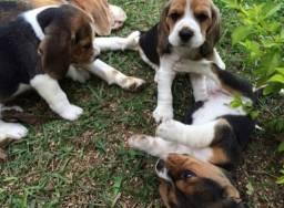 Macho & Femea! Beagle Filhote com Pedigree e Garantia de Saúde 13 Polegadas