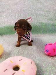 Basset dachshund salsichinha miniatura preto canela ou chocolate