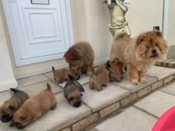Chow Chow filhotinhos entregamos na sua casa!