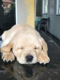 Labrador com pedigree em até 18 x