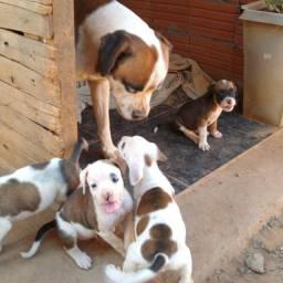 Filhotes de cachorro Boxer a venda