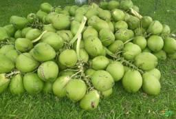 Coco verde / excelente qualidade!