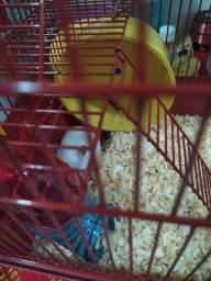 Filhote de hamster macho. Sírio