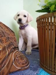 Imperdível Labrador macho/ fêmea apenas $950,00 a vista