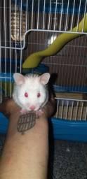 Gaiola e hamster Sírio