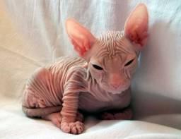 "Sphynx macho branco lindo gato """