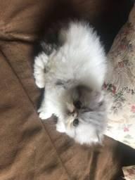 Gato persa legítimo