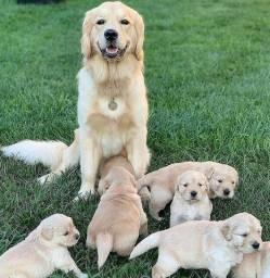 Filhotes de Golden Retriever Super Tops