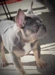Bulldog francês, LILAC TAN , disponível para cruzas...