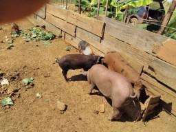 Porcos caipiras