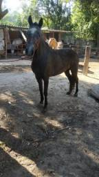 Égua Marcha Picada