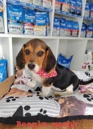 Beagle femea linda filhote venha conhecer