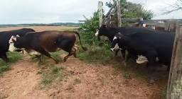 Venda de Vacas e Touros