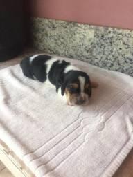 Basset hound - macho