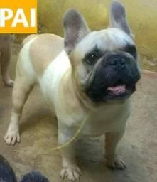 Bulldog Francês (Filhotes machos e fêmeas)