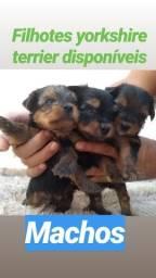 Filhotes yorkshire terrier, machos
