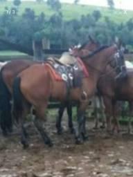 Vendo 4 cavalos e uma egua juntos ou ceparados