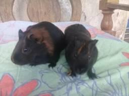 Porquinhos da Índia