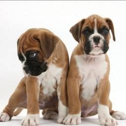 Filhotes de Boxer machos e femeas