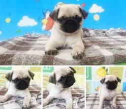 Pug macho porte bem pequeno
