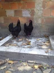 Gigante negro de Jesse e Duas galinhas pondo