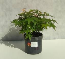Pré-bonsai