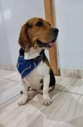 Beagle macho Disponível para cruzar
