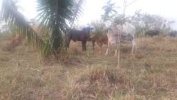 Vendo vacas  leiteiras 5 mil cada uma