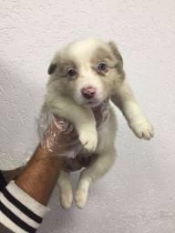 Border Collie filhotinhos já em loja entrega imediata