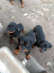 Filhotes de rottweiler com 2 meses