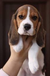 Lindos Beagle de porte pequeno, com pedigree de qualidade