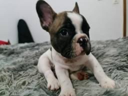 Maravilhoso filhote de Bulldog francês já disponível!