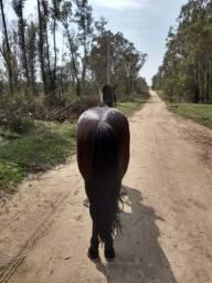 Cavalo crioulo resenhado