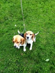 Beagle puro  disponível 1 ano e 2 mês