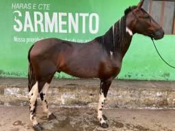 Vendo cavalo manga larga Com5 anos registrado omozigoto