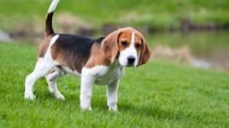 Vendo filhotes de Beagle
