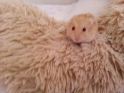 Hamster com casinha, ração e serragem.