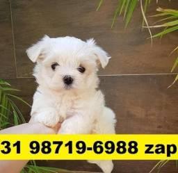 Canil Filhotes Cães Pet BH Maltês Basset Pug Shihtzu Beagle Lhasa Yorkshire