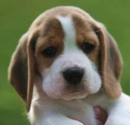 Beagle Filhotes 13 Polegadas com Pedigree e Garantia de Saúde