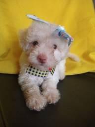 Poodle Toy fêmea 61 dias