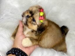Mini shih tzu com pedigree